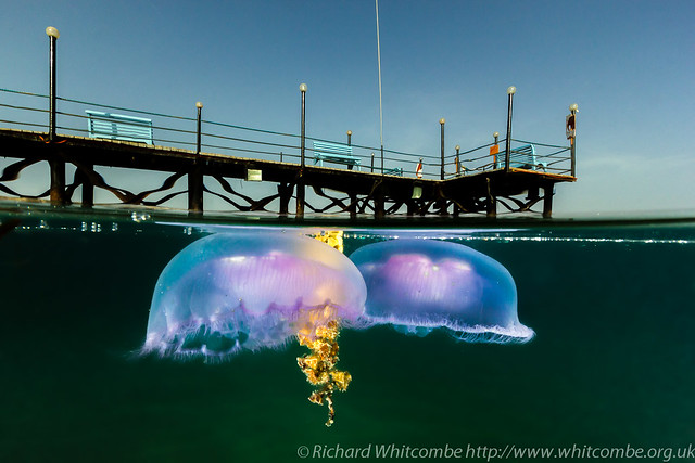 Two moon jellies drift in shallow water near a hotel jetty