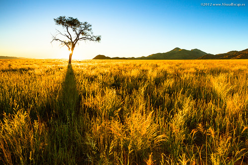 Golden Grass ~ Namibia