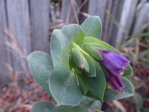 Cerinthe major | by bad_idea_dinosaur