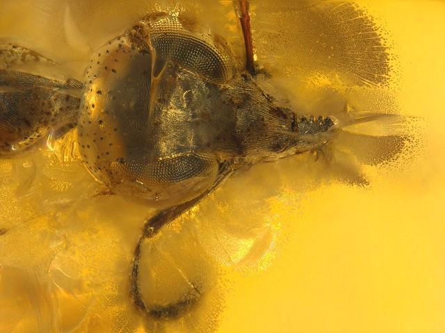 Baltic amber (50 MYO) - Ant (Formicidae)