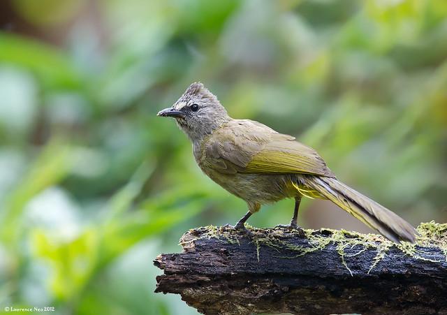 Flavescent Bulbul (Pycnonotus flavescens)@ Mae Wong National Park, Thailand-20120310_0087