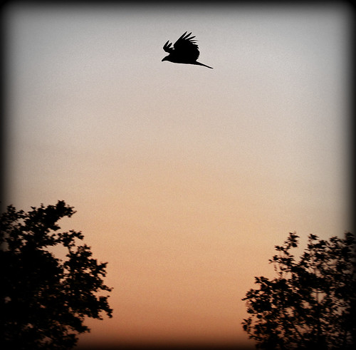 sunset bird nature silhouette birdsinflight vulture canonrebelt2i