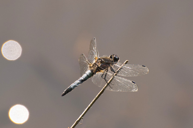 Platbuik -Broad-bodied Chaser