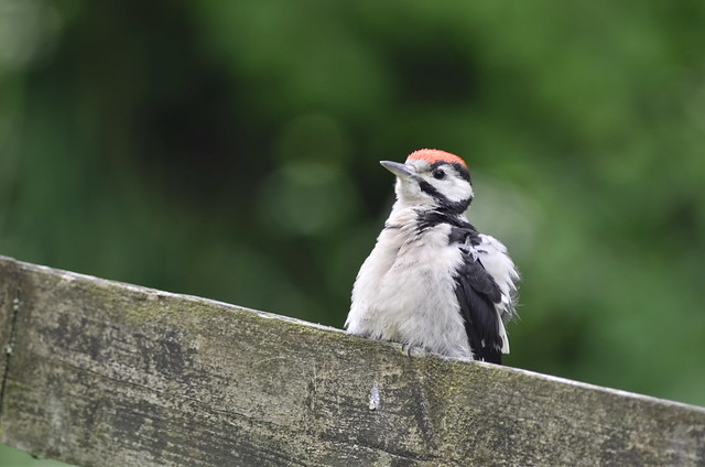 Juvenile great spotted woodpecker, Bottom Farm_001
