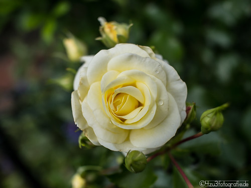Rose 12.06.2012 | by Silbersurfer
