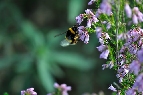 Bumble bee hovering | by Steve Slater (used to be Wildlife Encounters)