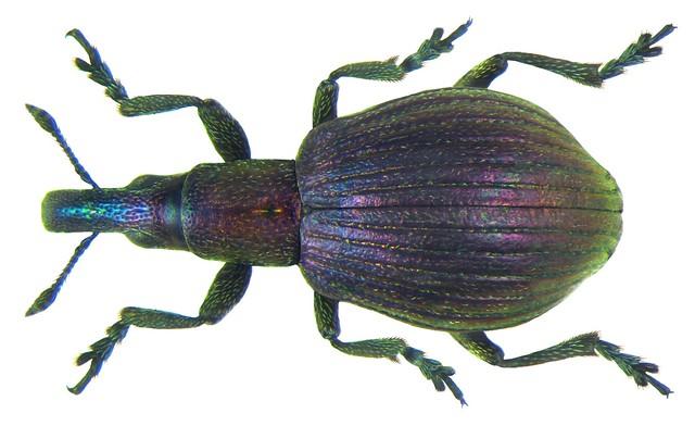 Pseudaplemonus limonii (Kirby, 1808)