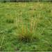 Flickr photo 'Arrowgrass habitat' by: Tony Frates.
