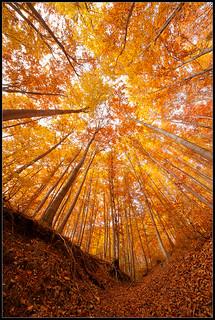golden-woods