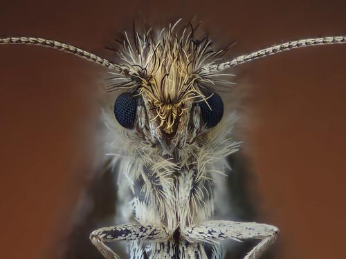 moth lepidoptera extrememacro zerenestacker johanjingleslenobel extrememacrocouk