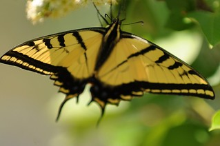 Swallowtail 01 | by Army Ornithological Society