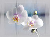 Soft Pink Orchids II