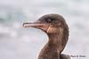 Flightless Cormorant - Cormoran aptère – Cormorán no volador - Phalacrocorax harrisi by Rafael G. Sanchez