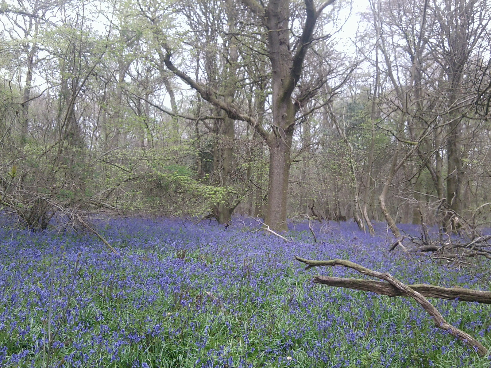 Old Simms Copse - Bluebells 3 Gomshall to Westhumble