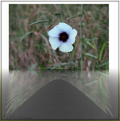 Reflections Hibiscus Trionum