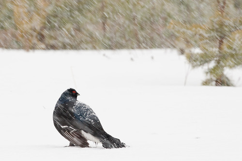 Black Grouse in Falling Snow | by glidergoth