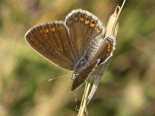 Polyommatus icarus | by fturmog