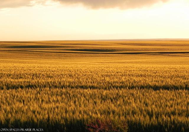 Wheat Field on a Summer Evening, Glasgow Montana
