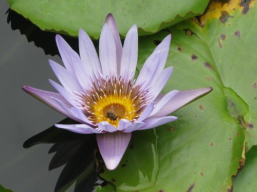 Water Lilly, Pamplemousses, Mauritius | by 77belle