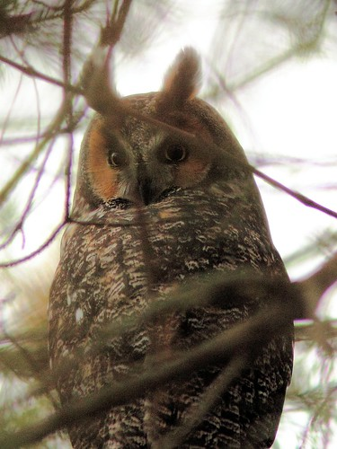 Long-eared Owl 2-20121103 | by Kenneth Cole Schneider