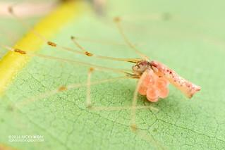 Daddy-long-legs spider (Cantikus ubin) - DSC_1731