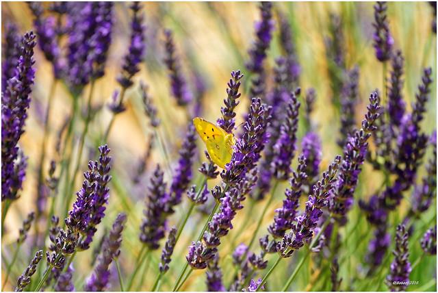 Schnupperkurs Lavendel...