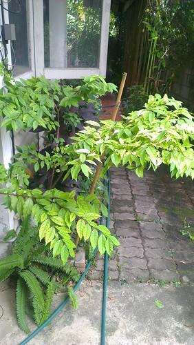 jasmine plant propped up with bamboo | by kafka4prez