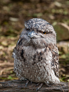 Tawny Frogmouth | by Timmy Toucan