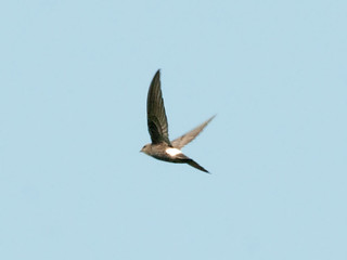 Fork-tailed Swift | by Sergey Yeliseev