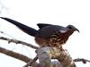Subdesert Mesite (Monias benschi) by David Cook Wildlife Photography