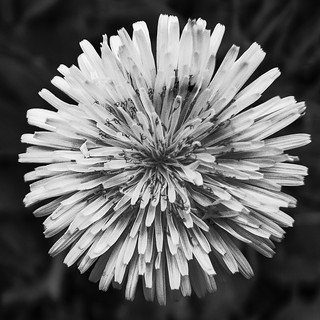 Flower in B&W | by Jonne Naarala