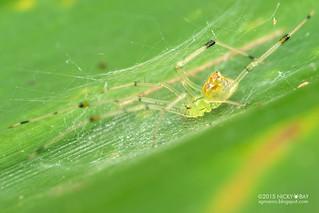 Mirror comb-footed spider (Thwaitesia sp.) - DSC_3230