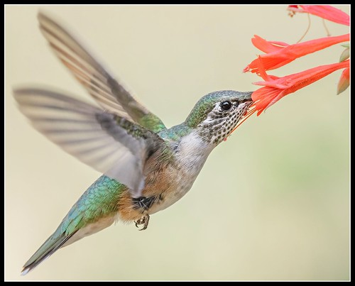 Female Broad-Tailed Hummingbird | by Edward Jenner2010