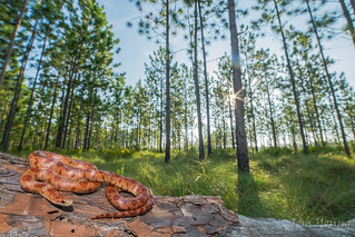 Mole kingsnake from Apalachicola National Forest. | by Joshua W. Young
