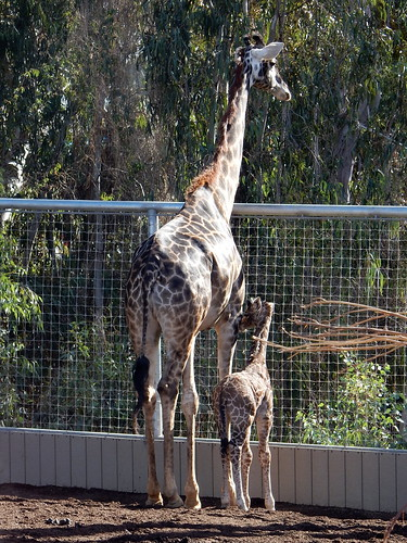 San Diego Zoo - baby en mama