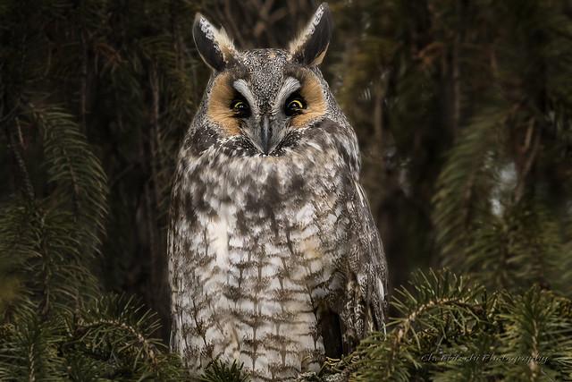 Long-Eared Owl / Hibou moyen-duc / Asio otus