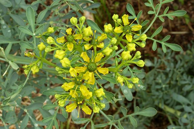 Ruta graveolens (Rutaceae) 134 16