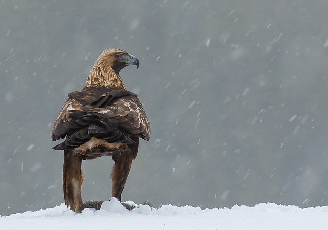 Black Grouse Lek and Eagles on Snow photography - tour