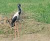 Black-necked Stork by Koshyk