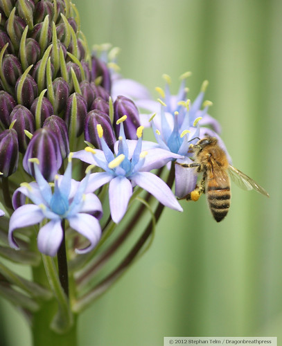 california ca blue flower nature niceshot purple arboretum davis botanicalgarden honeybee ucdavis yolocounty springtime apis hymenoptera purplegreen pollinator apismellifera apidae apinae doubleniceshot trriplyniceshot fourtimeasnice fivetimesasnice sixtimesasnice