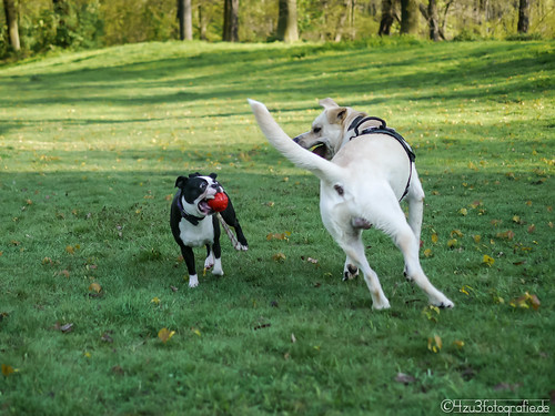 Dogs playing 25.04.2012 | by Silbersurfer