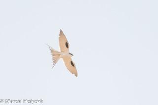 Scissor-tailed Kite (Chelictinia riocourii), Mora Plains, near Maroua, Cameroon, 2012-03-27 -101.jpg | by maholyoak