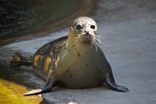 young seal / junger Seehund | by Missud