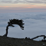 Ancient Bristlecone Pine