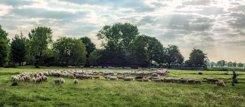 trees dog grass landscape sheep shepherd row hss nederlandvandaag sliderssunday