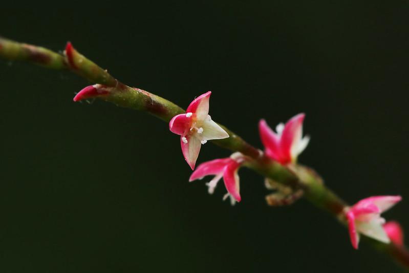 Persicaria filiformis  ミズヒキ