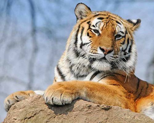 Tiger 0412 6273 | by Ross Elliott