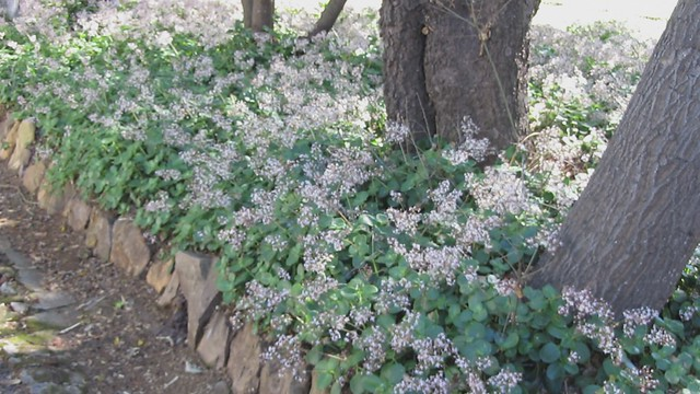 MVI_2860 short Goleta oak moths on succulent blooms Stow House LLC