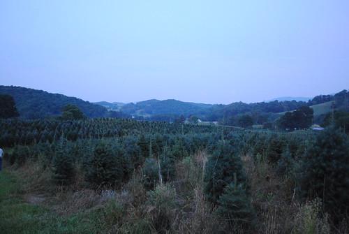 tree farm fir wholesale concolor severtstreefarm concolors wholesaleconcolorchristmas treesseverts