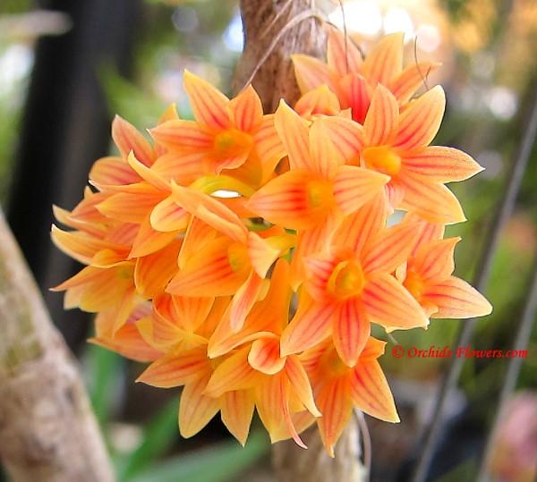 Dendrobium x usitae - Dendrobium Justin Lau